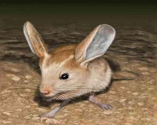 long-eared jerboa-يربوع-طويل-الاذنين