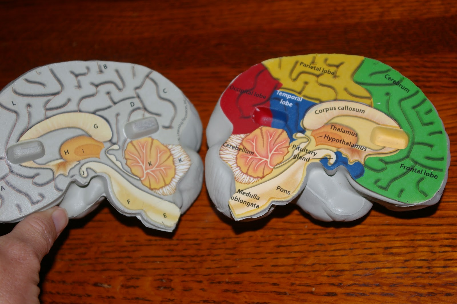 Displaying 13 gt  Images For - Labeled Parts Of The Brain   Labeled Inside Brain Model