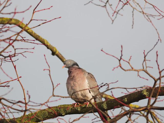 Ringeltaube (Columba palumbus)