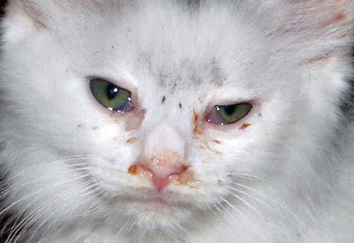 after effects of feline conjunctivitis