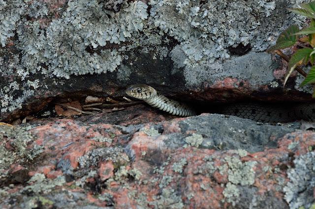 Käärme kurkistaa kallionkolosta