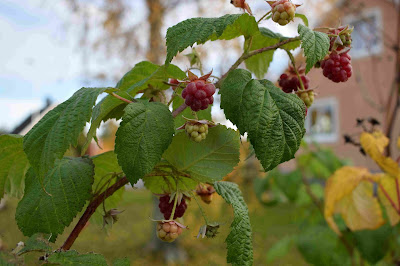 Rubus Autumn Bliss