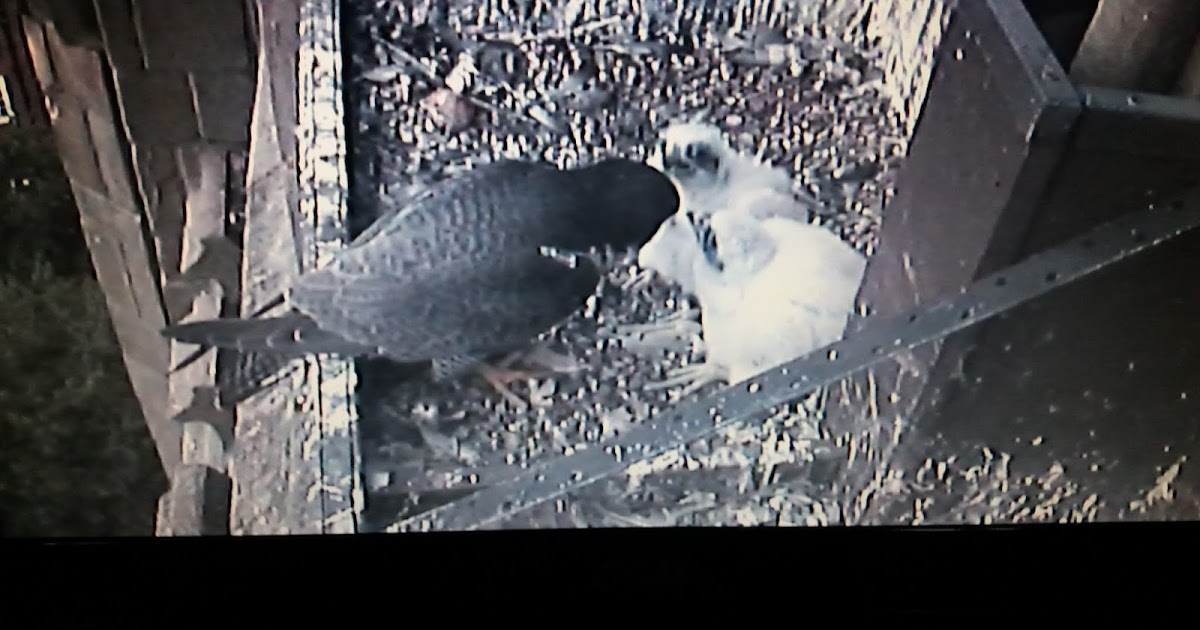 Two chicks confirmed and Watch Point Updates
