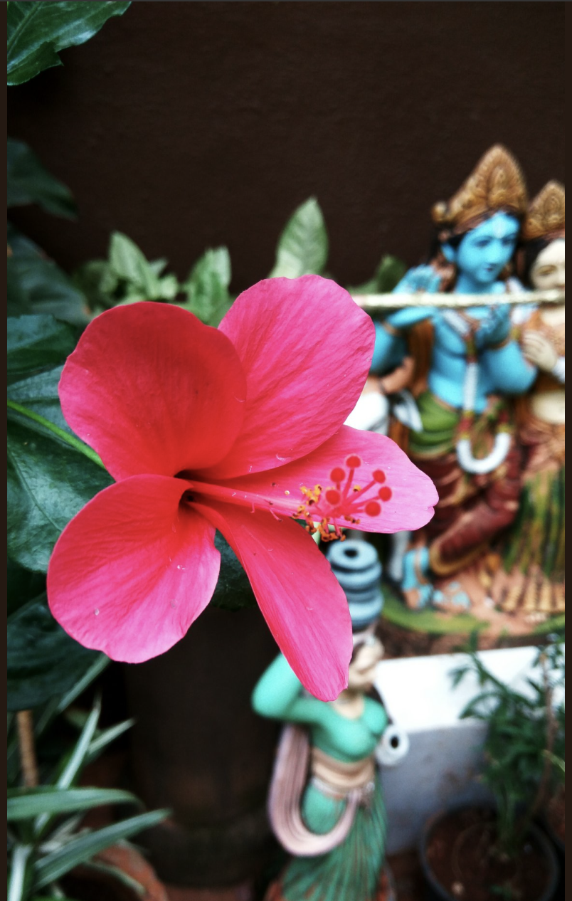 In search of a home flowers and memories see the beautiful blue krishna behind the flower the flower as known to many is hibiscus we called it china rose even today when it flowers it izmirmasajfo