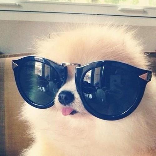 Óculos de Sol; dog