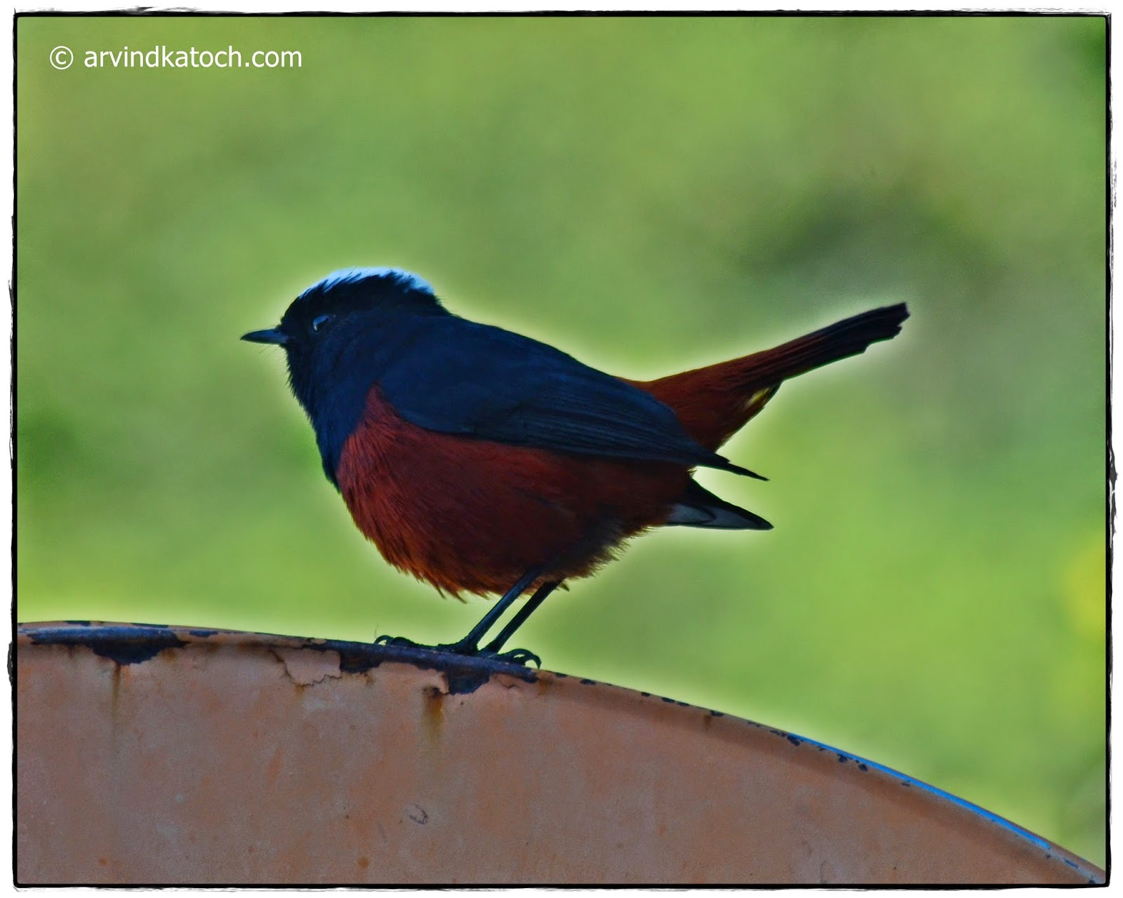 White-capped Redstart, Side