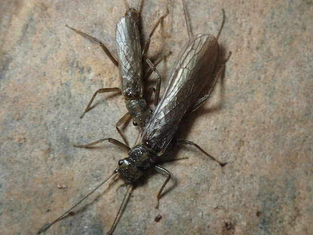 Perlodinae