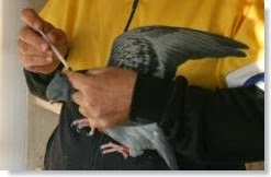 medicamentos para palomas mensajeras