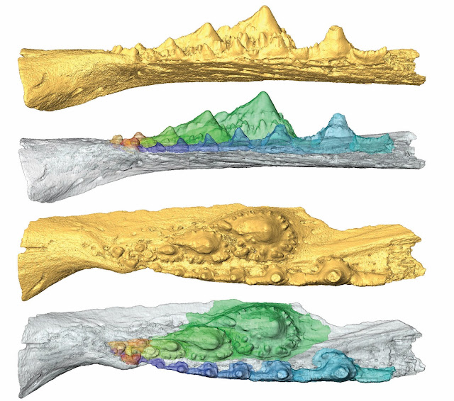 Independent evolutionary origins of vertebrate dentitions, according to latest study