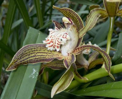 เอื้องกำเบ้อ (เอื้องหงส์ทอง) กล้วยไม้ไทย Cymbidium tracyanum