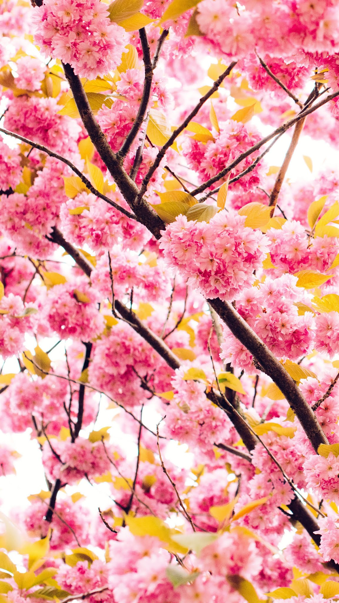 Pink cherry blossom Mobile wallpaper