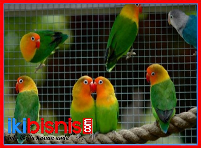 7 Cara Mudah Berternak Burung Lovebird
