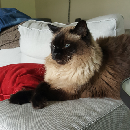 image of Matilda the Fuzzy Sealpoint Cat sitting on the arm of the couch with her front paws crossed, looking pissy