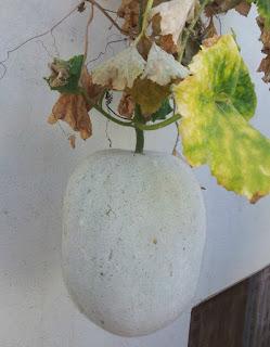Tanaman blingo ialah tanaman menjalar yang sering kita jumpai disekitar kita Manfaat dan Khasiat Tanaman Bligo (Benincasa hispida Thunb. Cogn.)