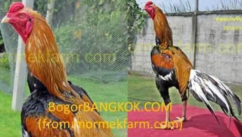 Warna Ayam Bangkok Istimewa Berkelas Di Thailand Ayam Bangkok Super Top Ayam Bangkok Aduan