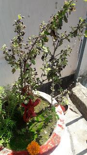 तुलसी का पेड़.और ओसधी  गुण