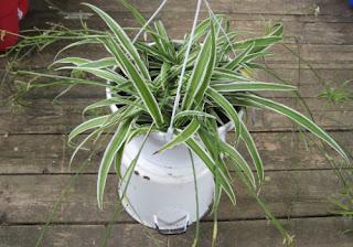 spider plant benefits in bedroom