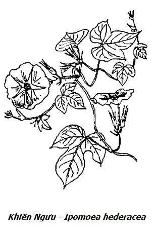 Hình vẽ Khiên Ngưu - Ipomoea hederacea - Nguyên liệu làm thuốc Nhuận Tràng và Tẩy