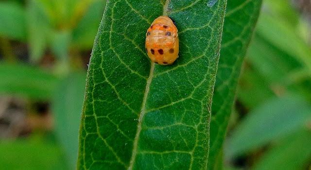 Ladybug Chrysalis on Milkweed