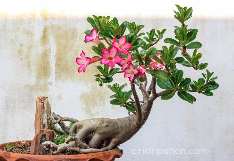 Ciri Ciri Pohon Bonsai Adenium