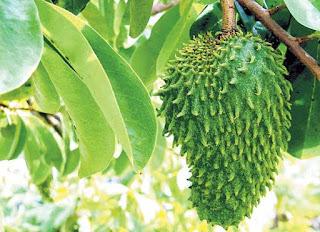 5 Manfaat Buah Durian Belanda atau Sirsak Untuk Kesehatan Tubuh