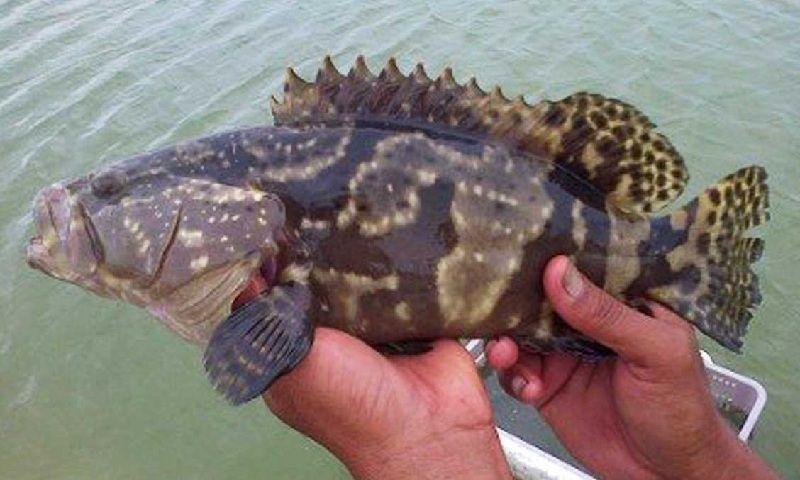 Ikan Laut Kerapu