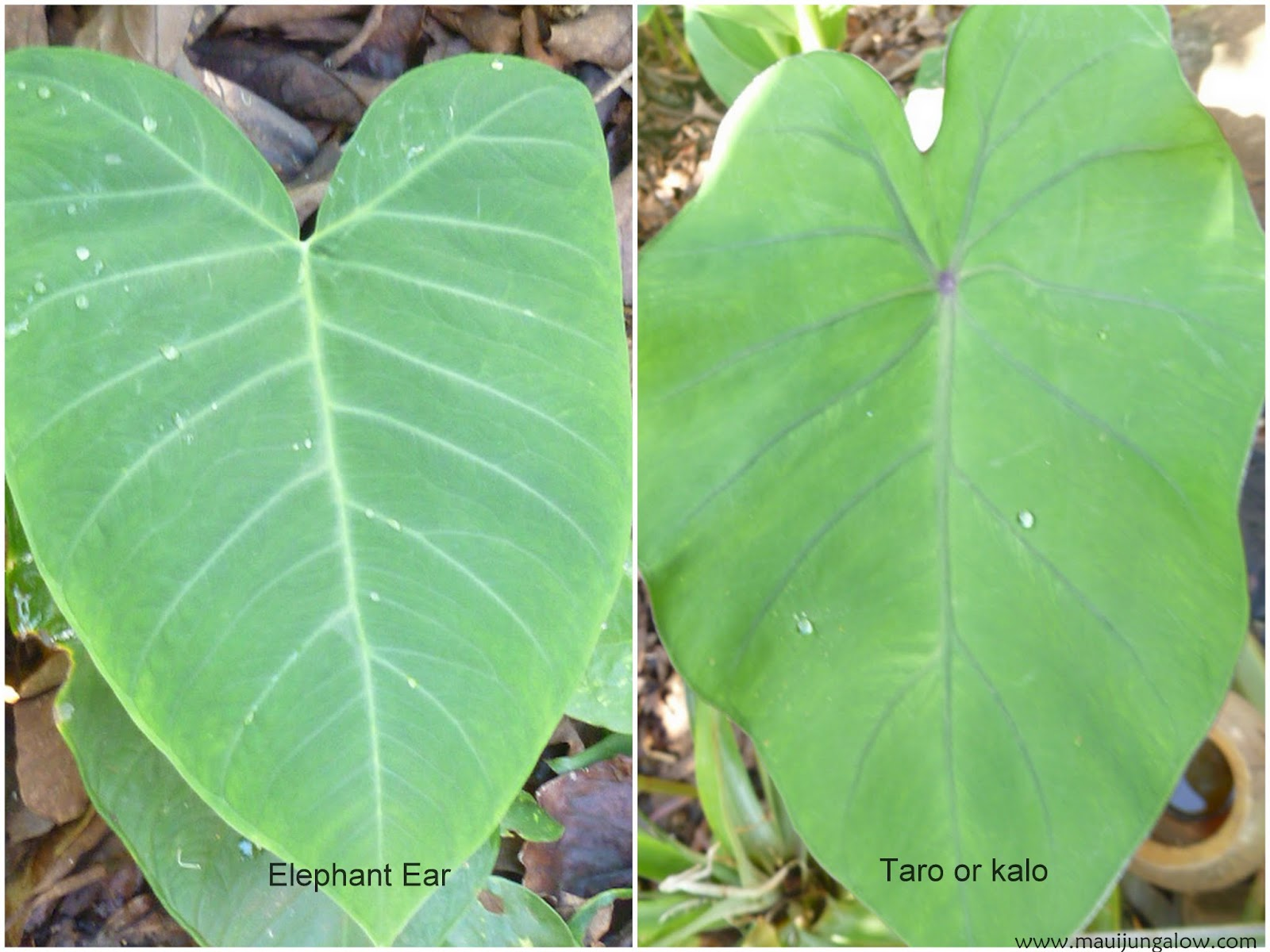 Photo On Left Is Elephant Ear It S More Linear And Angular The Piko Where Veins Meet At Edge Of Leaf Notch