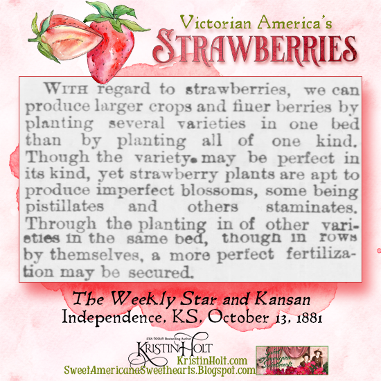 Kristin Holt | Victorian America's Strawberries. To produce larger crops and finer berries, plant several varieties in one bed. Science explained! From The Weekly Star and Kansan of Independence, Kansas, October 13, 1881.