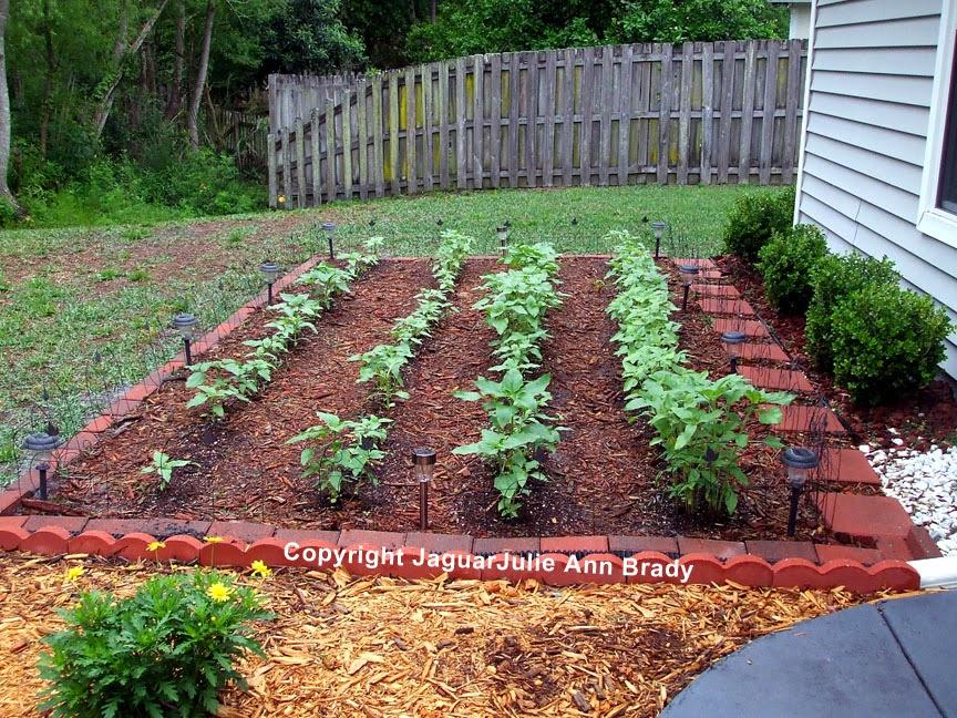 Sunflower Garden Four Rows of Plants at 37 Days ~ JaguarJulie