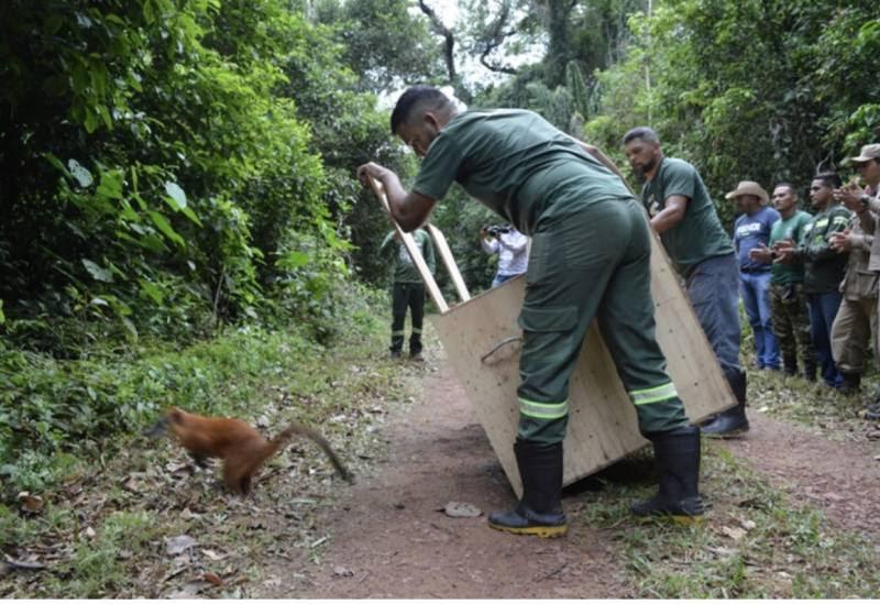 Órgãos ambientais fazem soltura de 85 animais na Floresta Nacional do Tapajós