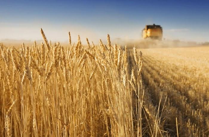 Φθινοπωρινές σπορές: Πτώση στο σκληρό σιτάρι στη Θεσσαλία, προς ιστορικό υψηλό η ελαιοκράμβη
