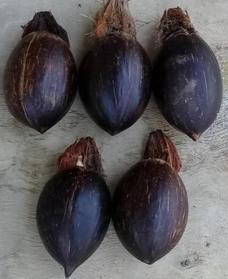 COD Bibit bahan bonsai kelapa minion size 5 Padangpanjang