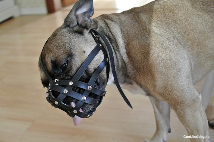 Maulkorbtraining Maulkorb für Französische Bulldogge