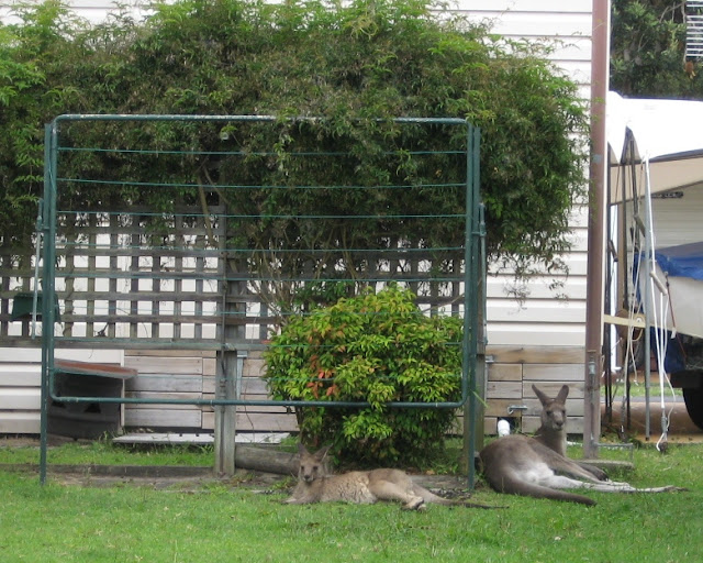 Mother and joey resting on the lawn underneath a folded washing line. Behind the washing line is a standard creeper on a wooden trellis and a small shrub.