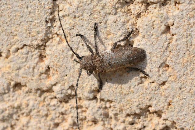 Niphona picticornis