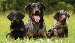 Beauceron dog breed, its history, appearance, and its temperament.