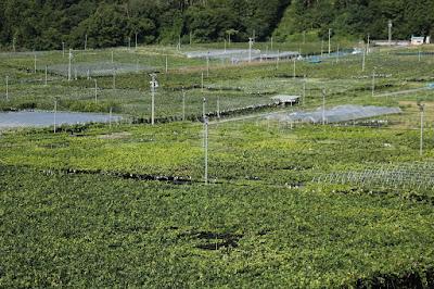 長野県東筑摩郡生坂村のぶどう 上野巨峰園