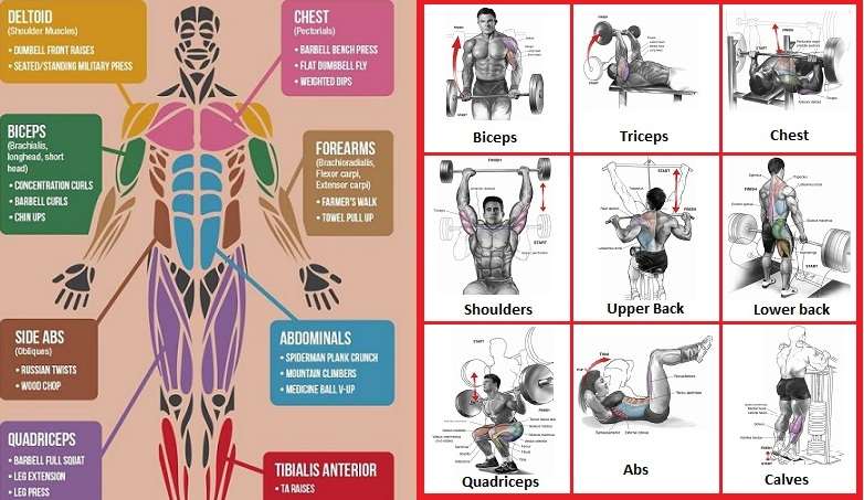 best exercises for major muscle groups - all-bodybuilding, Human Body