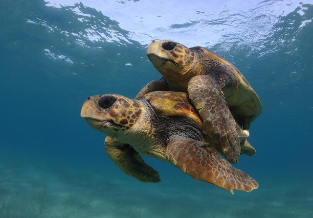 Warming temperatures threaten sea turtles