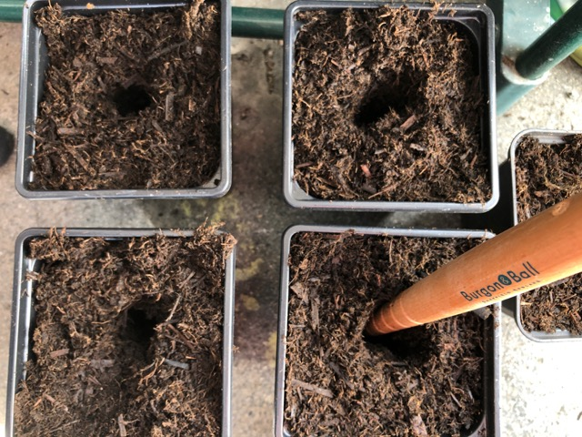Using dibber to make holes in compost