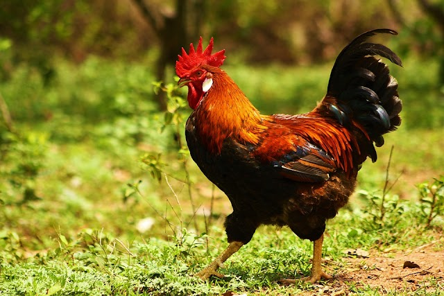 Ο κόκορας μπορεί να συνεχίσει να λαλεί κάθε πρωϊ, σύμφωνα με το Γαλλικό δικαστήριο!