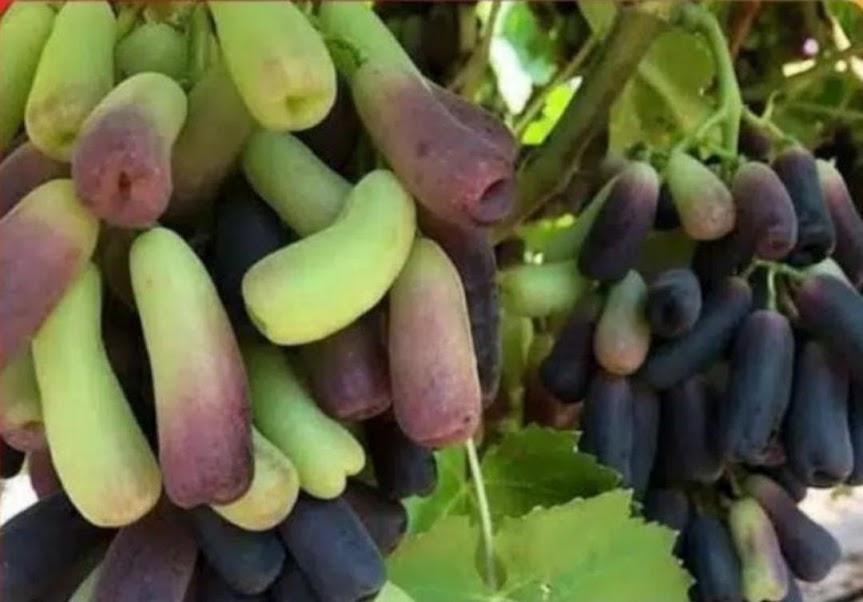 bibit buah anggur Moondrop import asli valid Sumatra Barat