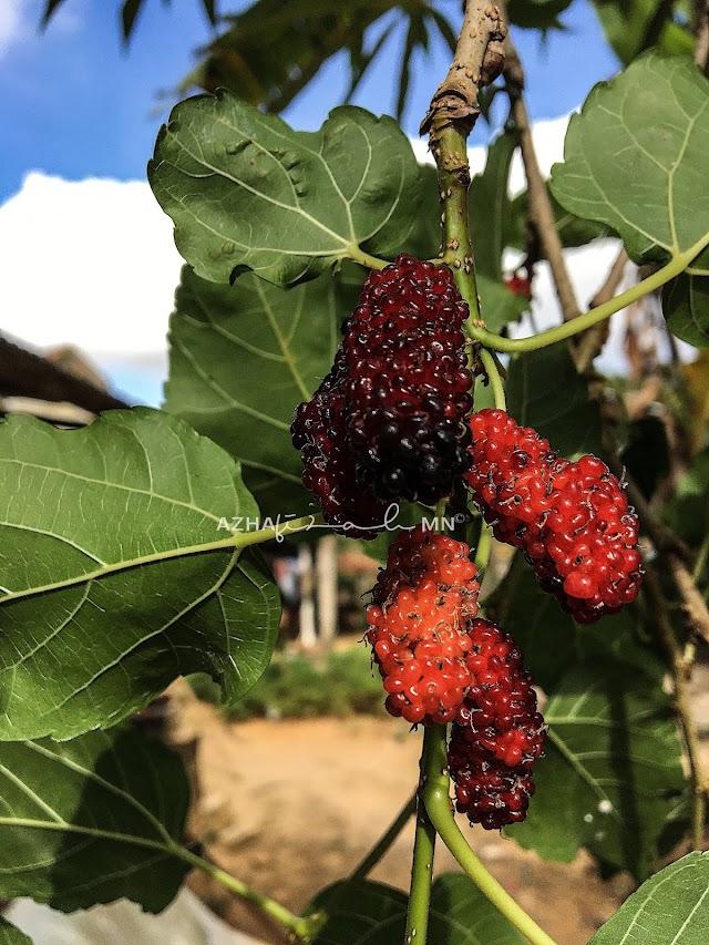 Buah Mulberry Berbuah Lebat