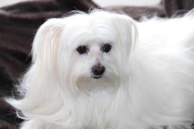 anjing malta cocok dalam lingkungan apartemen