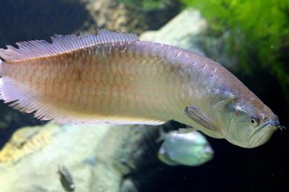 Cara Budidaya Ikan Arwana yang Penting untuk Disimak