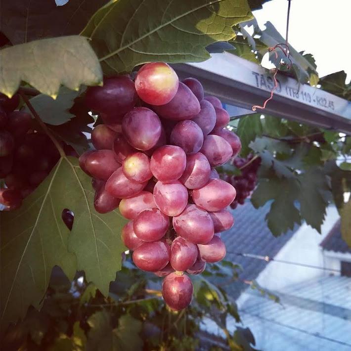 Bibit anggur import TALDUN grafting anggur genjah bisa COD Pematangsiantar
