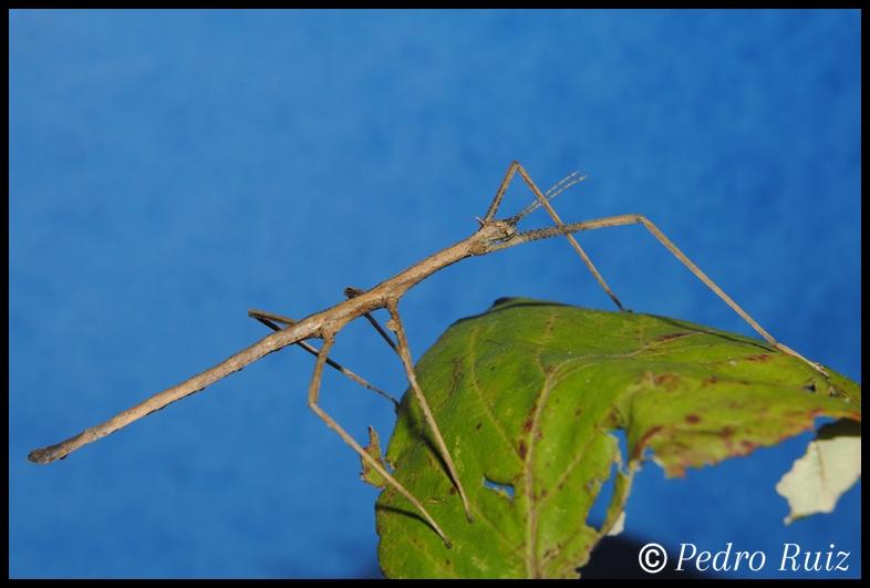 Ninfa macho L4 de Onchestus rentzi, 5,5 cm de longitud