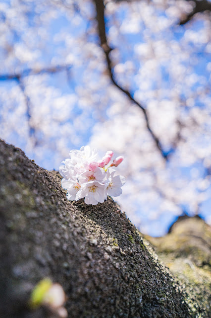 新宿御苑,広角,桜