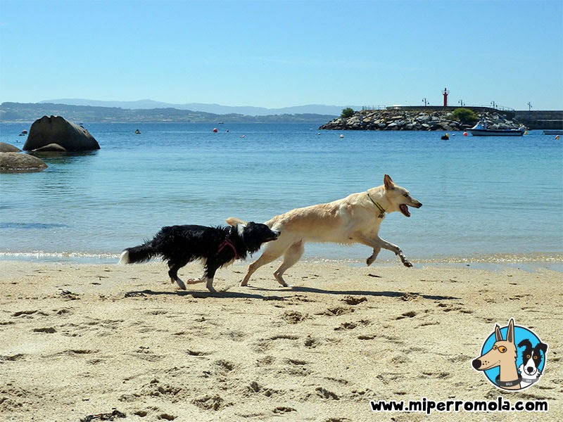 Can de Palleiro y Border Collie en la Playa canina de O Espiño en O Grove