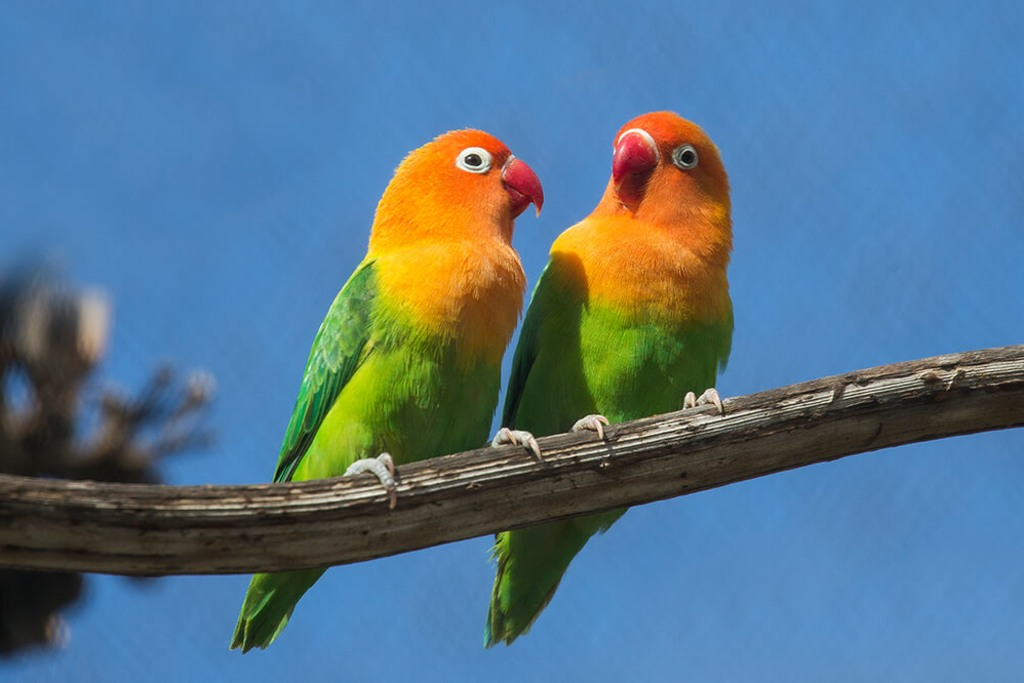 burung love bird